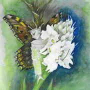 Wild Orchid - Flowers of the Burren
