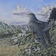 Herald of Summer (Cuckoo)
