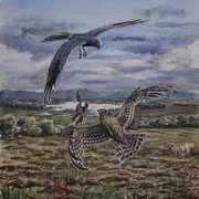 ood Pass Hen Harriers on Bockagh Hill