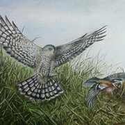 Sparrowhawk and Chaffinch