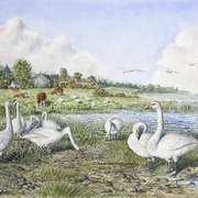 Whooper Swans,Lough Gara,Co. Sligo