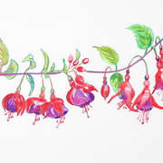 Fuchsia Tom Thumb