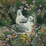 Fulmars On Cliff Edge