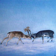 Fallow Deer Fighting 1