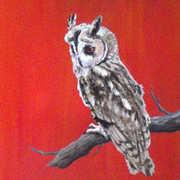 Long Eared Owl - Ceann Cait