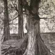 Beech Tree 3